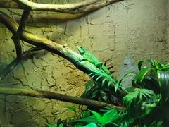 Grüne Wasseragame Chow