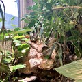 Luftwurzeln Ficus Benjamin